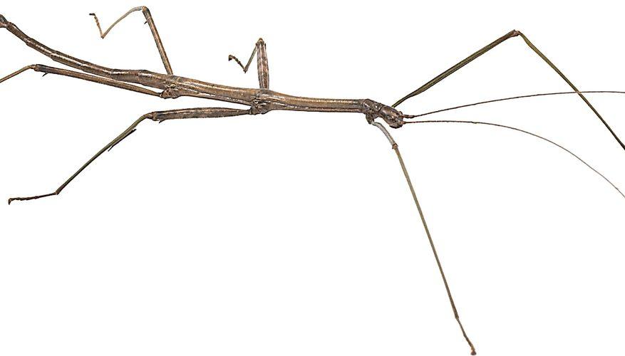 Cómo hacer un modelo de Stick Bug
